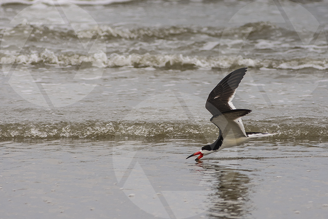 Picture of a black skimmer fishing on Galveston Beach