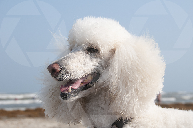 White standard poodle dog on Galveston Beach
