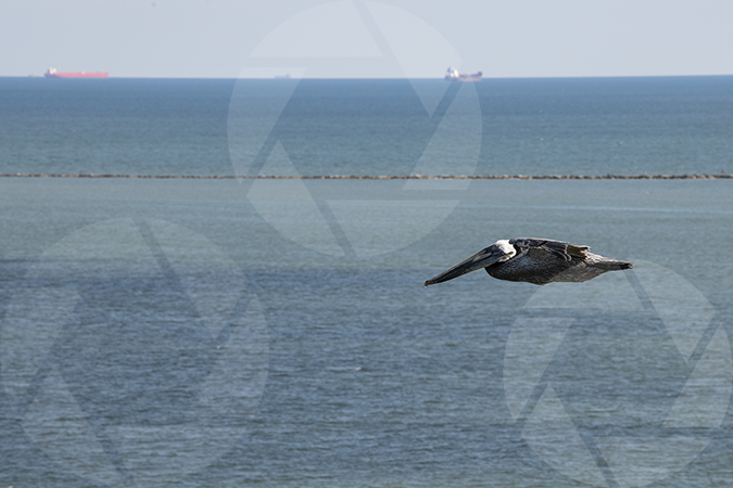 Picture of a brown pelican bird giving chase to a Royal Caribbean cruise ship as it leaves the Port of Galveston
