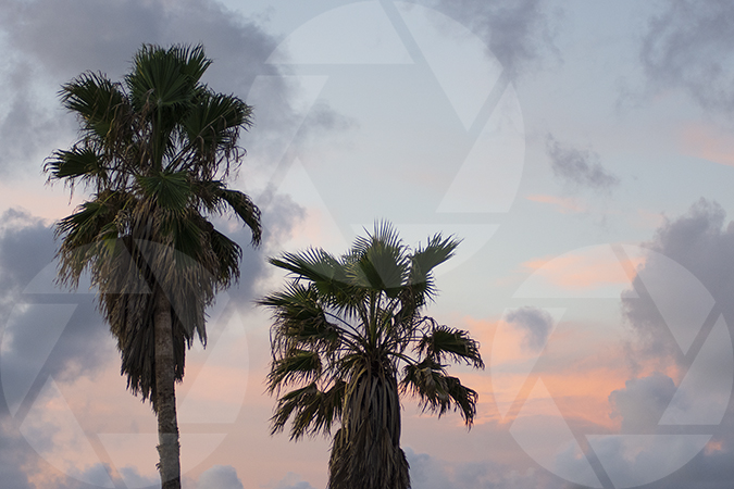 Photo of Galveston sunset with palm trees in the foreground