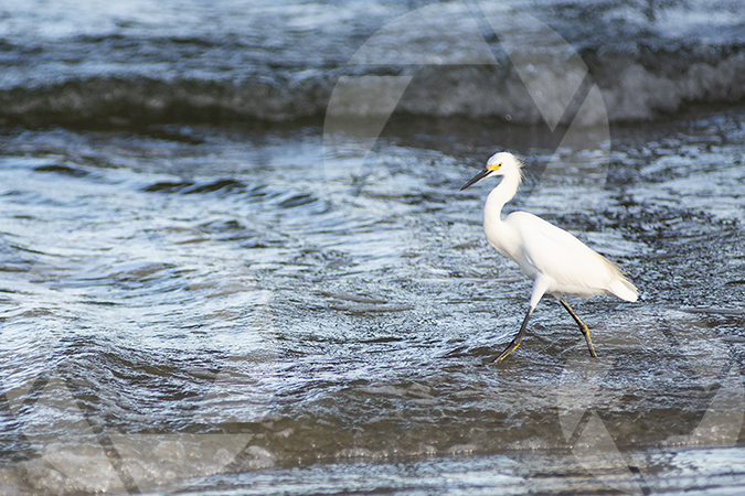 Image of a snowy egret bird in the waves on Galveston Beach