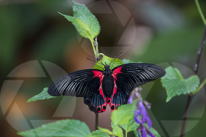 Black and red butterfly image