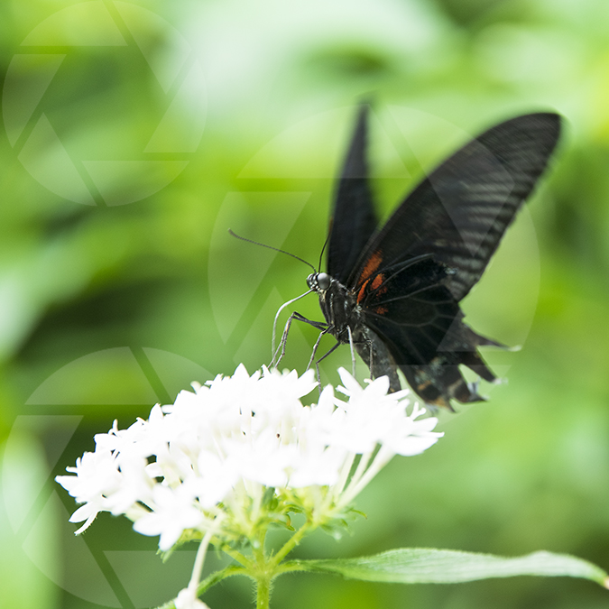 Picture of a black butterfly on a white flower.